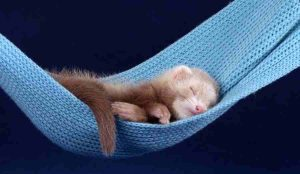 ferret illness and diseases