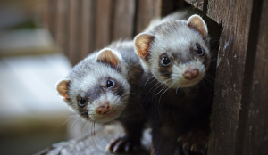 two ferrets looking into the camera