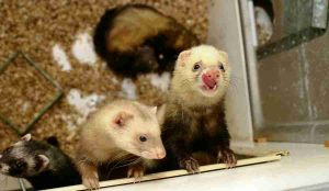 two ferrets looking at camera