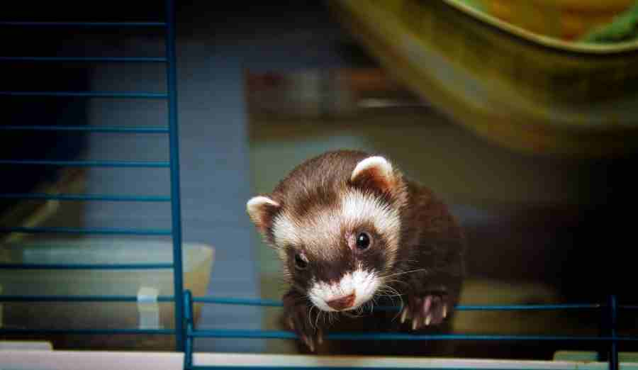 a ferret looking out of a cage
