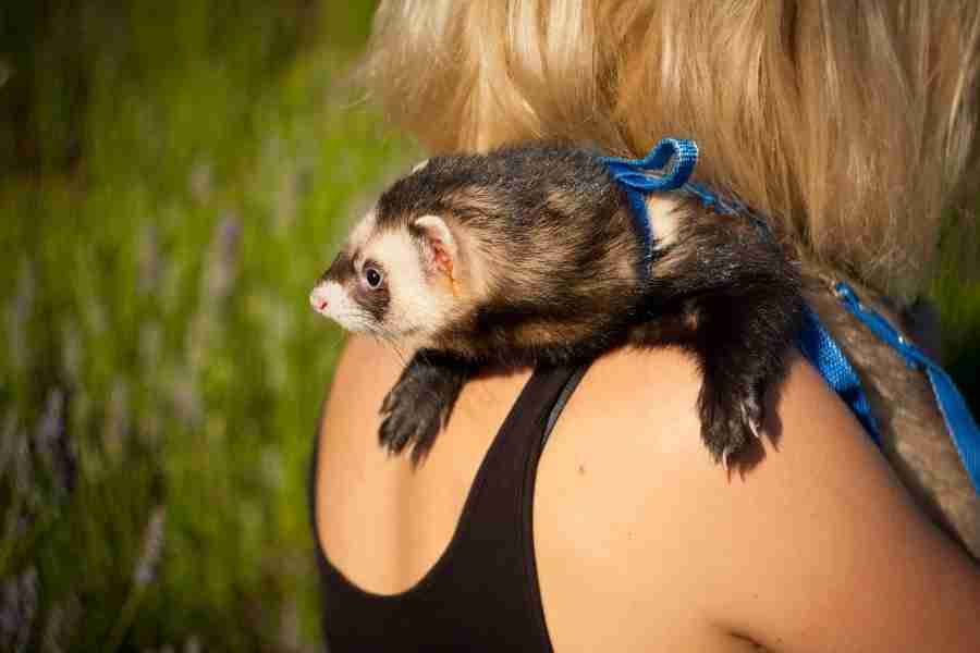 do ferrets love owners_3