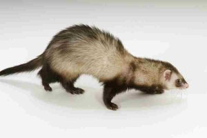 flexible ferret spine