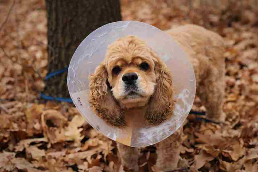 keep dog from scratching wound_2
