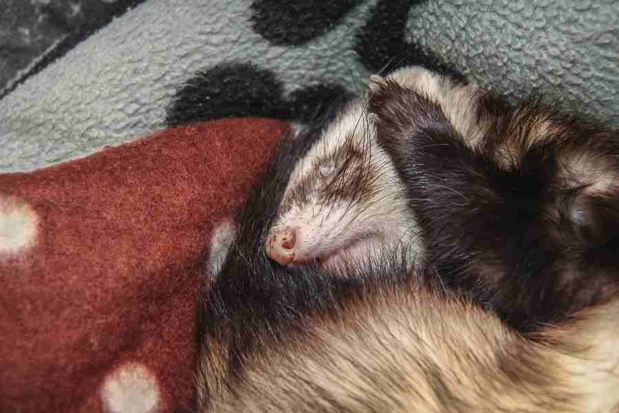 a small ferret sleeping with a blanket