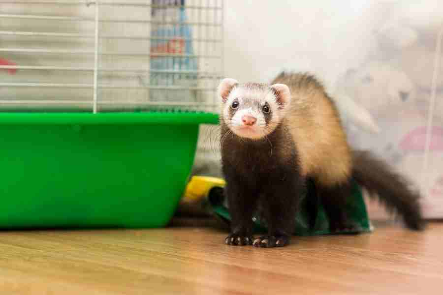 when do ferrets reach full size