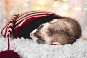 why we must love ferrets