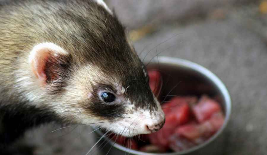 a ferret in front of his bowl with meat