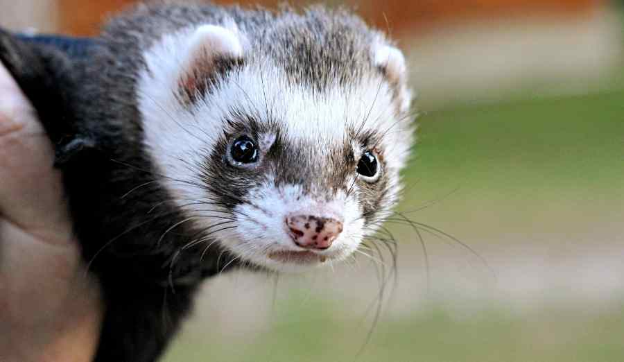 a ferret looking at the camera