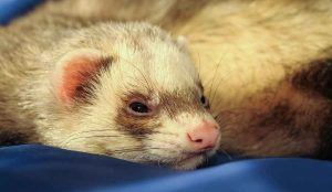 a ferret lying on a blue sheet