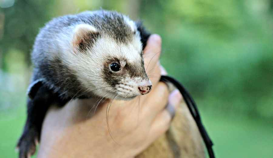 a hand holding a ferret
