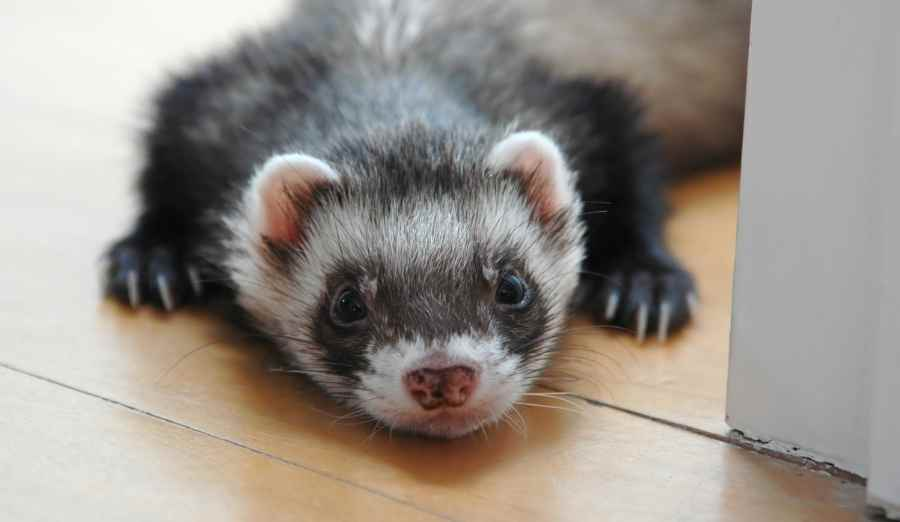 a young ferret lying on the floor looking at the camera