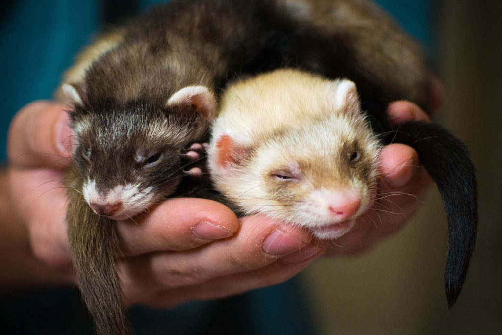 someone holding two ferrets in their hands