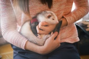 closeup-pet-ferret-arms-its-owner_211251-255