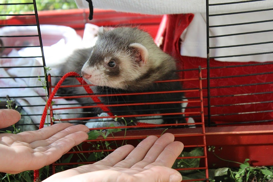 a ferret looking out if its cage