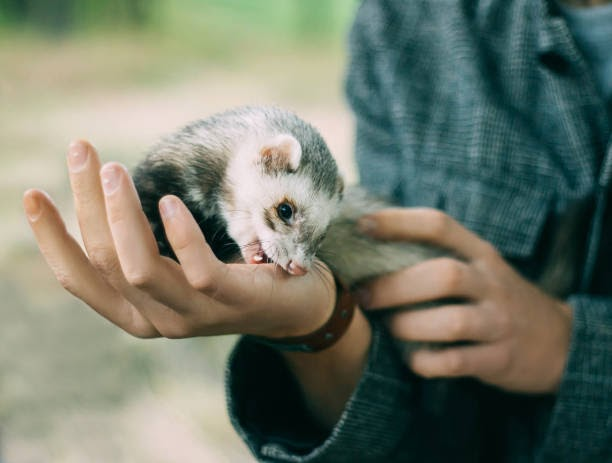 a ferret sitting on the hand of its owner, gently biting it