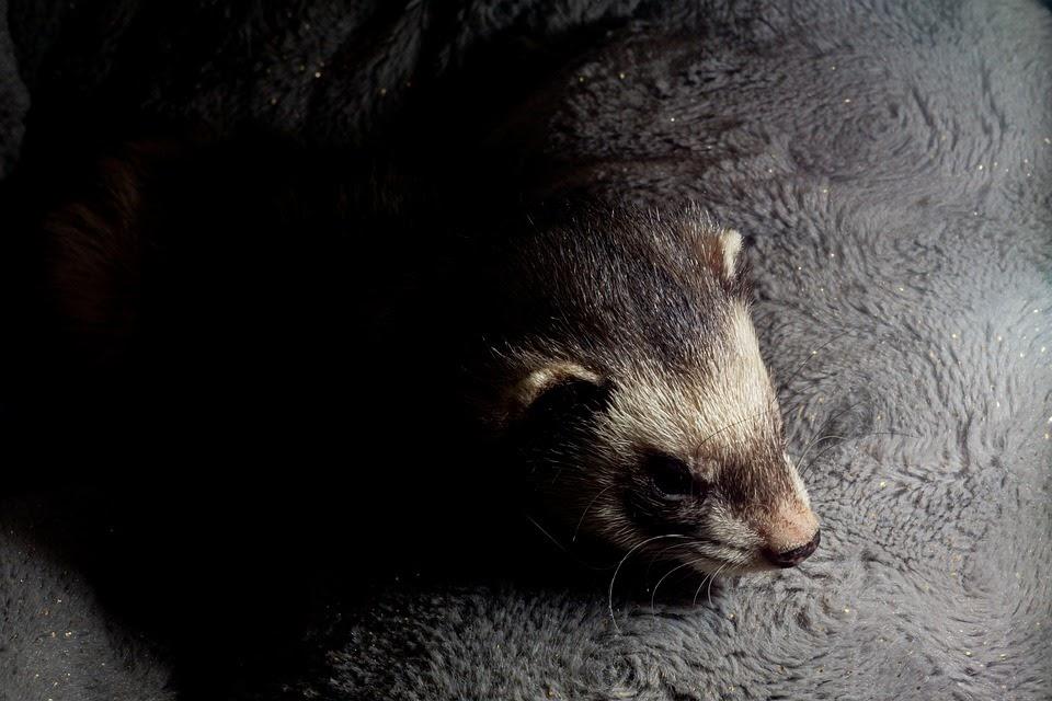 A Sleeping Ferret