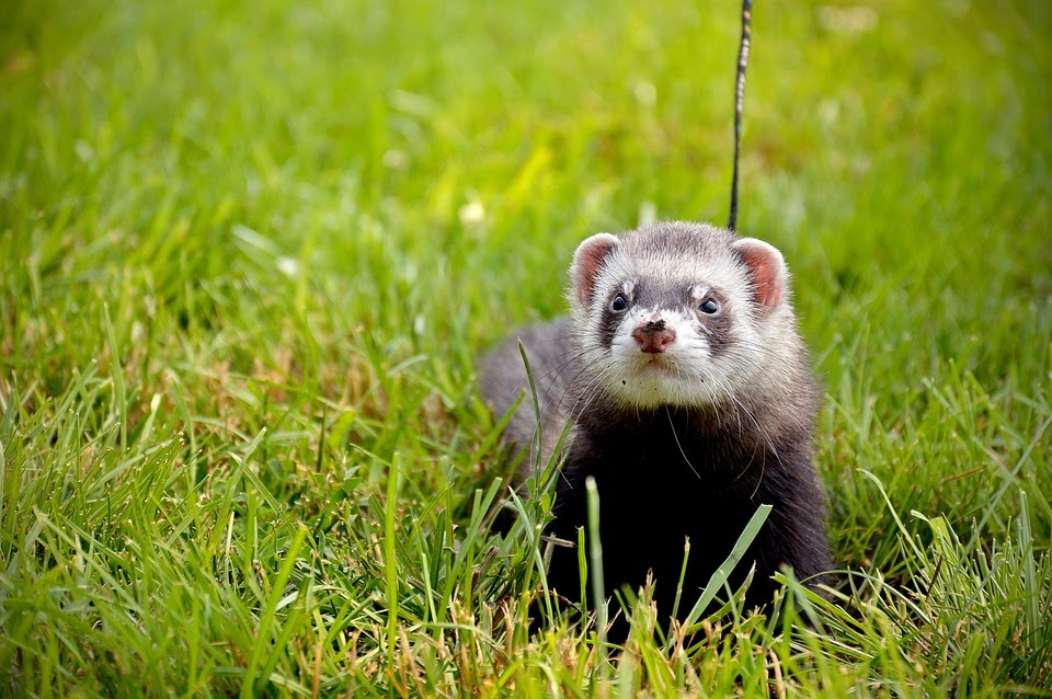 a ferret on a medow