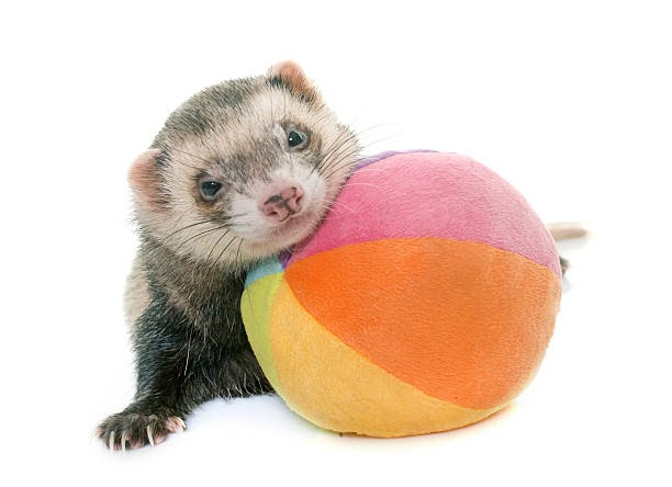 a ferret playing with a ball