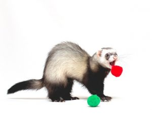 Ferret playing with soft balls