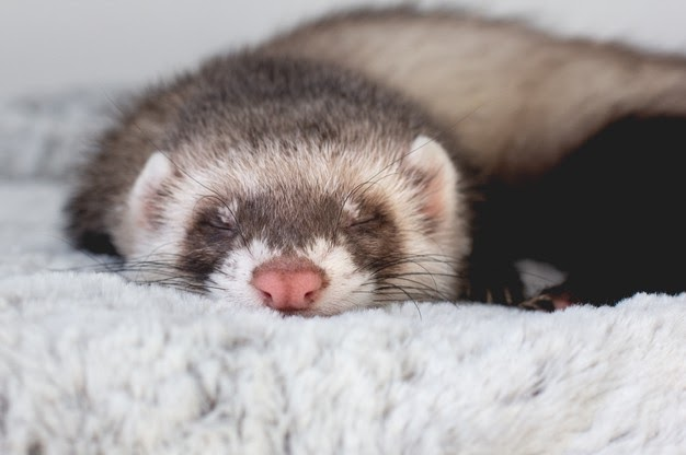 young-ferret-baby-posing-bed_369656-72