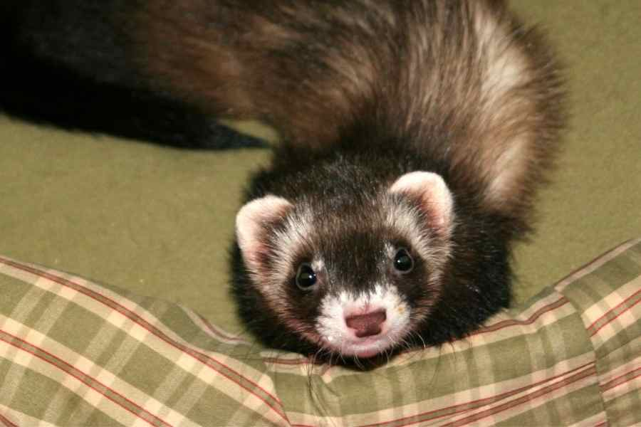 a ferret looking up while sitting on a green sofa