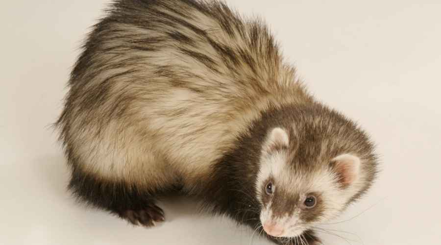 a ferret with a brown coat and white underhair