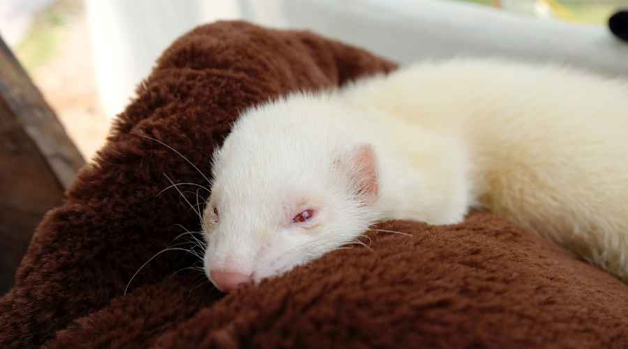 an albino ferret with red eyes