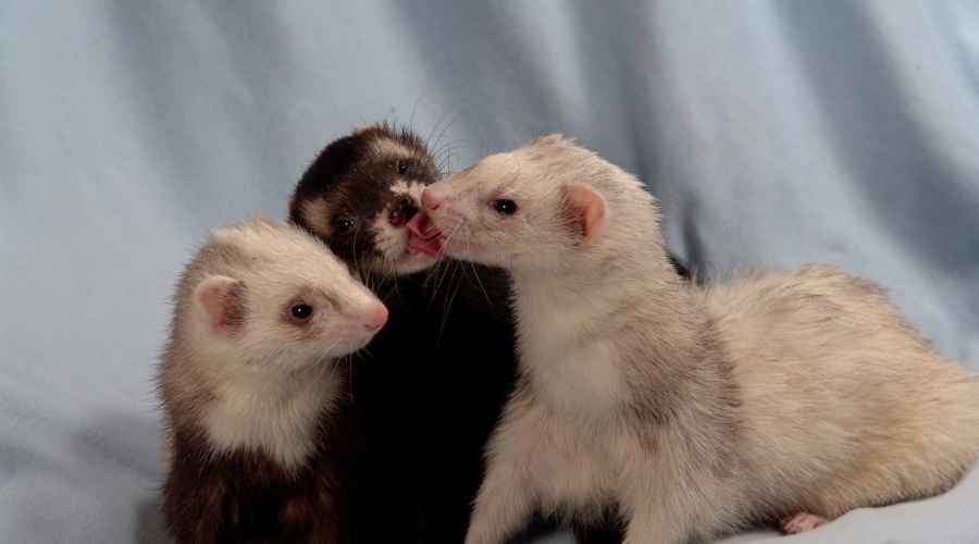 three young ferrets all in different colors