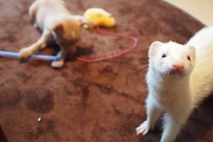 a ferret and a dog playing