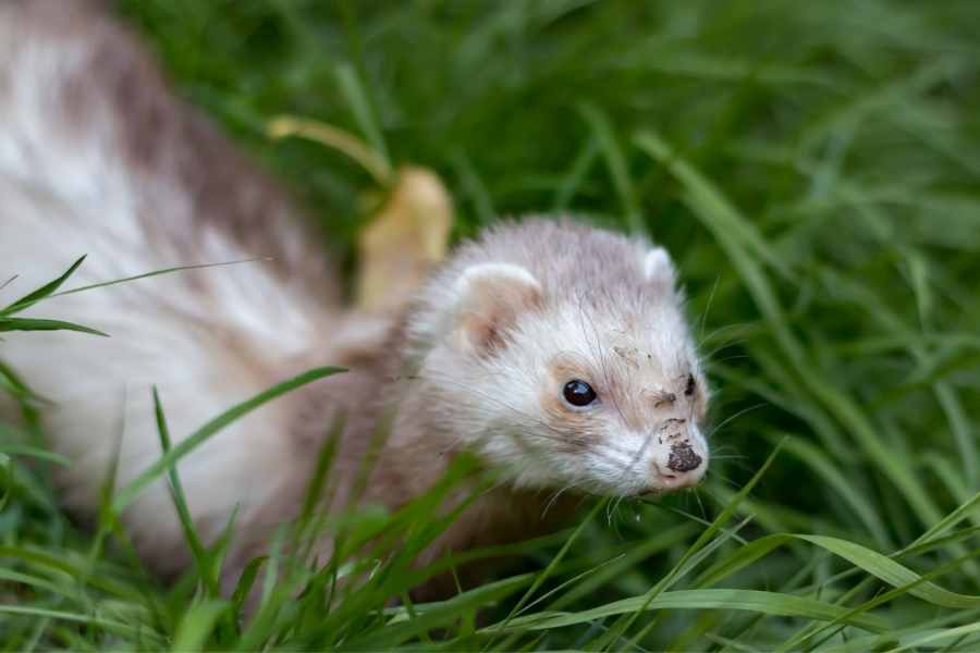 a ferret dirt on its nose in nthe grass