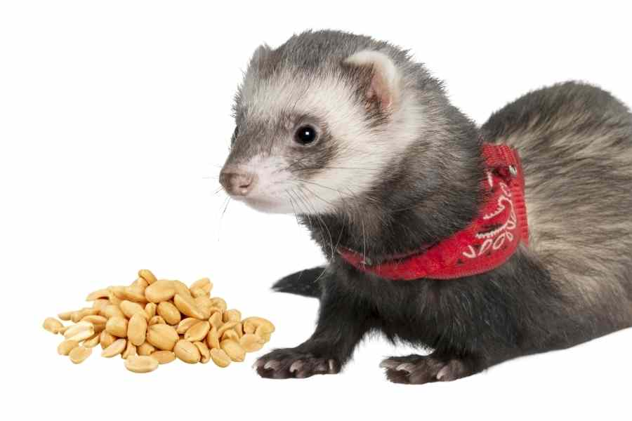 a ferret on a white background looking at some peanuts