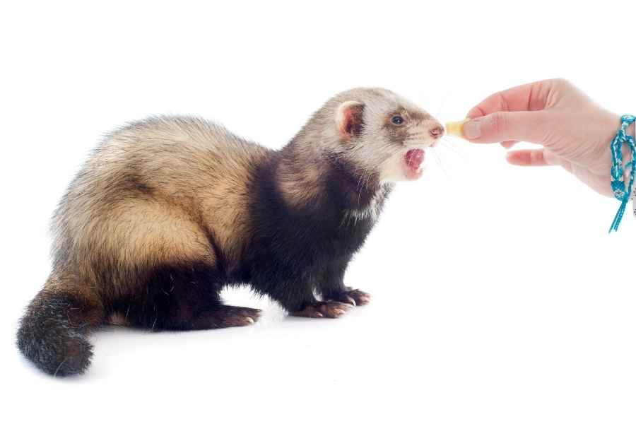 a hand holding a treat for aferret - ferret looks at it