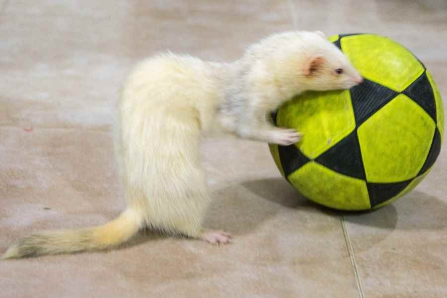 a white ferret playing with a ball