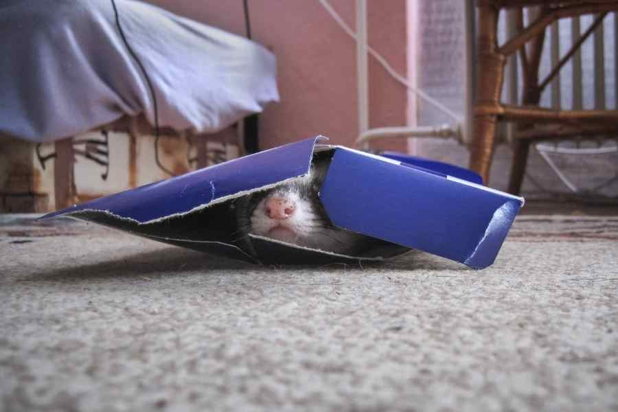 ferret in a broken carboard box