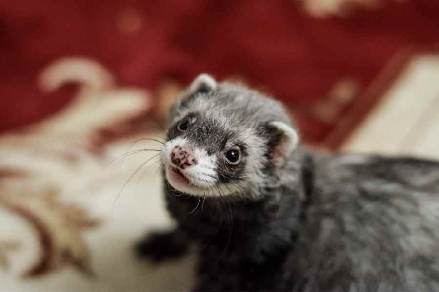 ferret looking at the camera