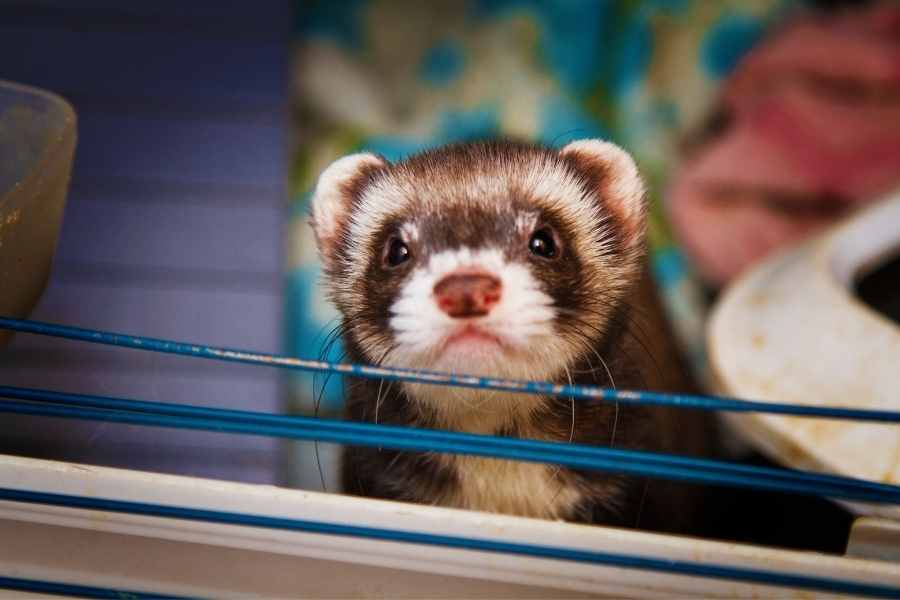 ferret looking out of its cage