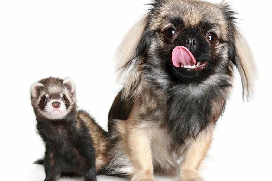 a ferret and a dog looking at the camera