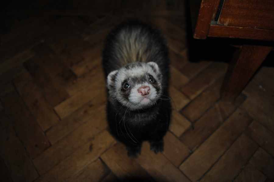 a ferret inside a house in the dark