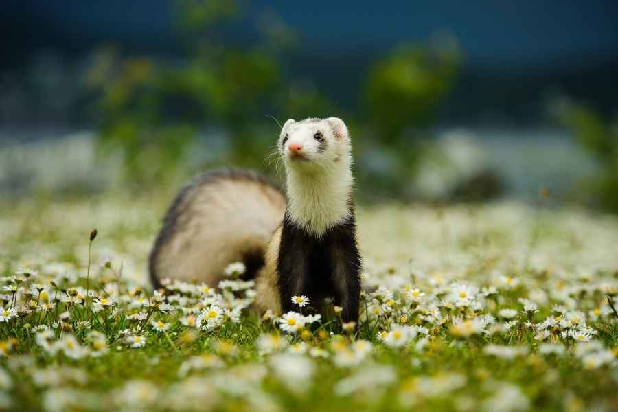 a ferret on a meadow looking around