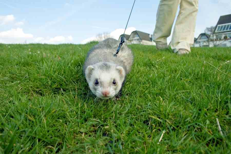 a ferret on a meadow on a leash held by someone