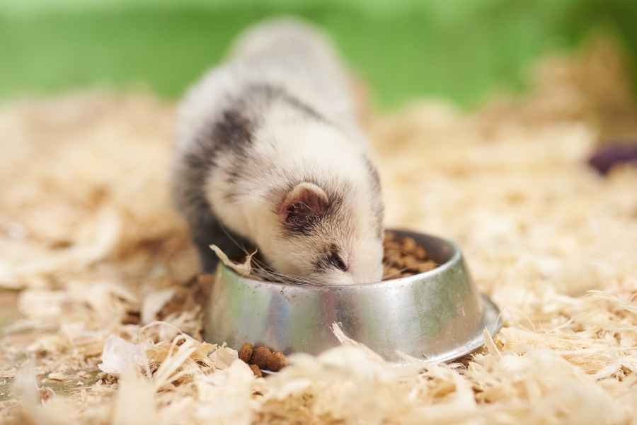 ferret eats out of its bowl in a cage