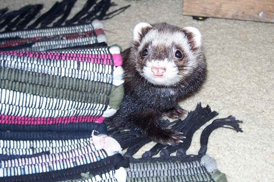 a ferret looking from under a carpet into the camera