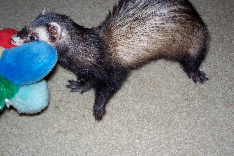 a ferret with a toy in its mouth