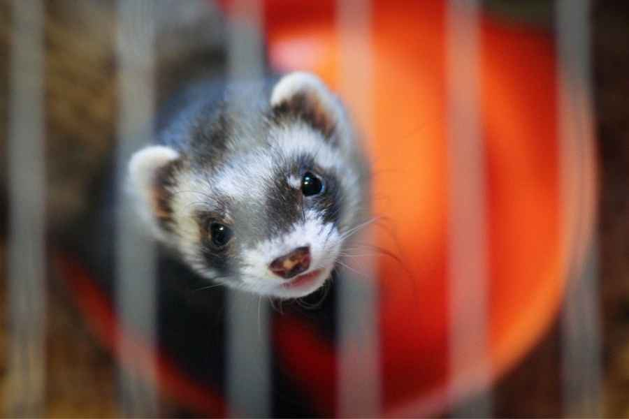 ferret looking through the cage wire