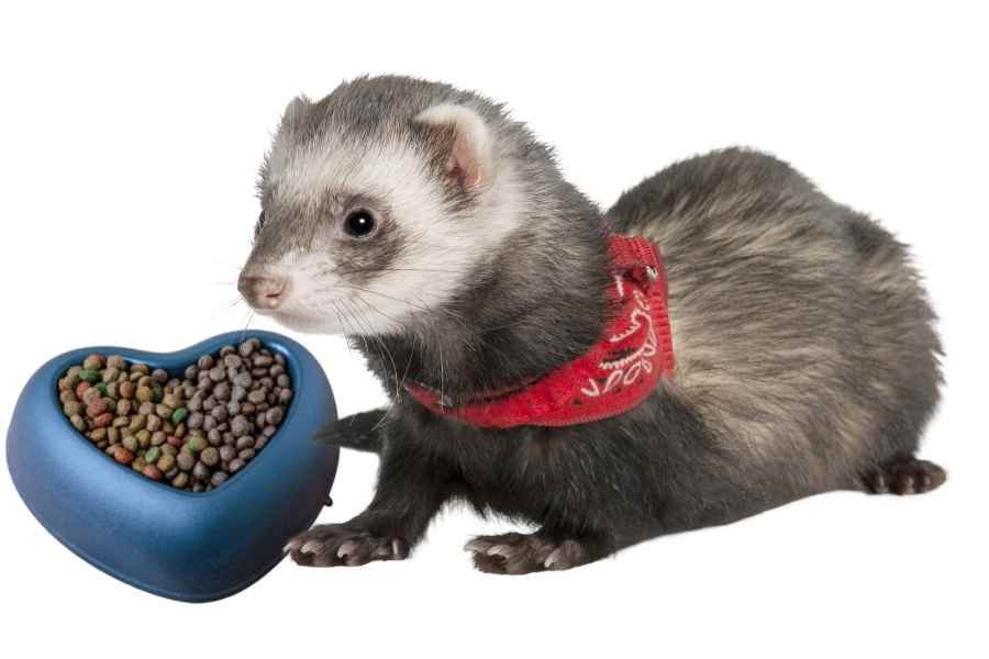 a ferret on a white background looking at a bowl of dry cat food