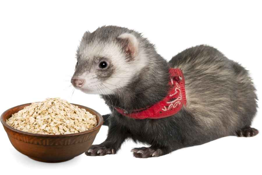 a ferret on a white background looking at a bowl of oatmeal