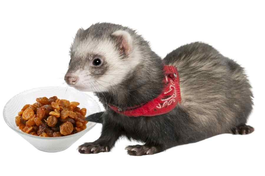 a ferret on a white background looking at rbowl of raisins