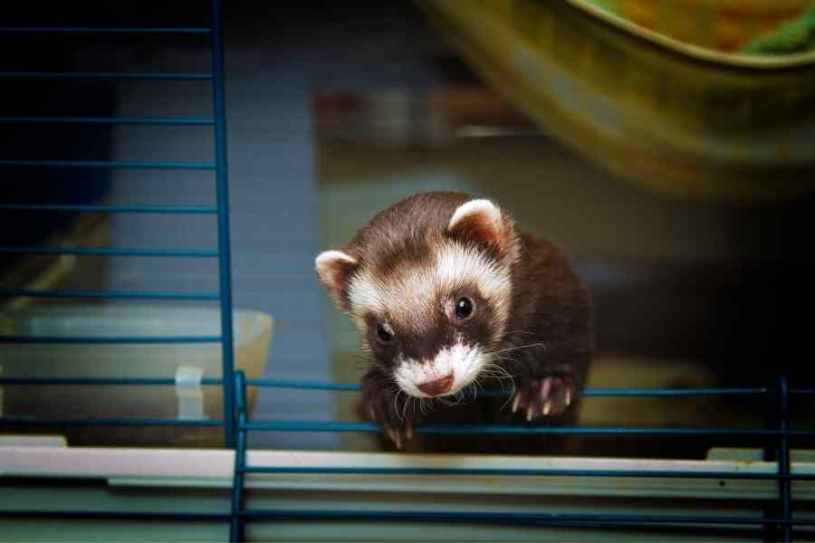 a ferret in a cage looking through the open door