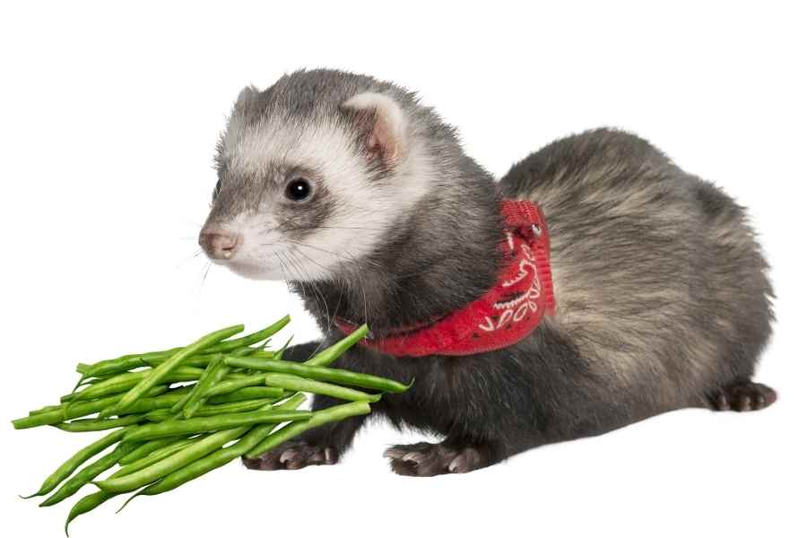 a ferret on a white background looking at a handfull of green beans
