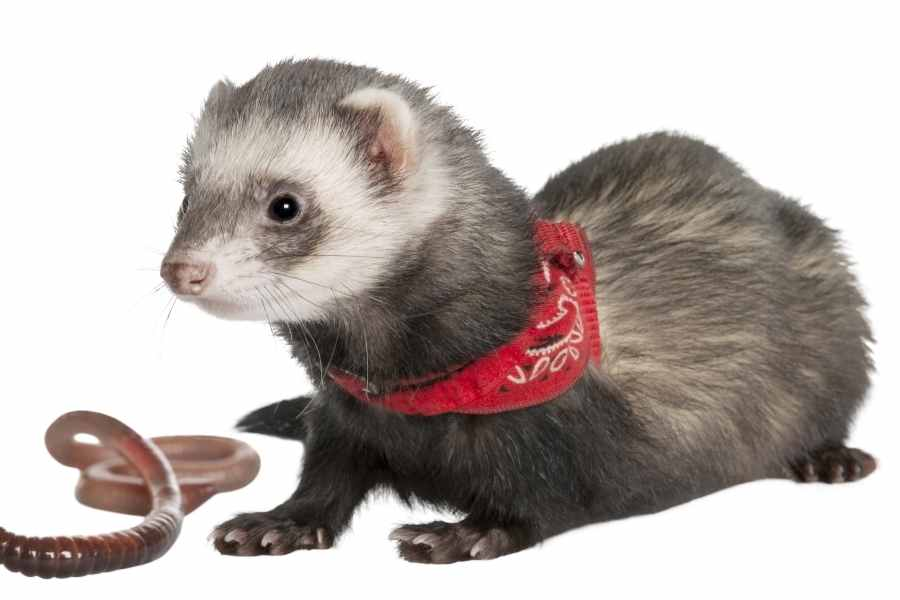 a ferret on a white background looking at an earthworm